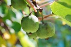 Πράσινα φρούτα ακτινίδιων μωρών στην άμπελο Στοκ εικόνες με δικαίωμα ελεύθερης χρήσης