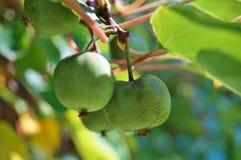 Πράσινα φρούτα ακτινίδιων μωρών στην άμπελο Στοκ φωτογραφία με δικαίωμα ελεύθερης χρήσης