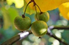 Πράσινα φρούτα ακτινίδιων μωρών στην άμπελο Στοκ Φωτογραφία