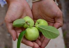Πράσινα φρούτα μήλων στα χέρια ατόμων Στοκ Φωτογραφία