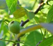 Πράσινα φρούτα στο δέντρο Στοκ Φωτογραφία