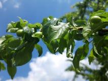 Πράσινα φρούτα του δέντρου κερασιών στοκ εικόνα