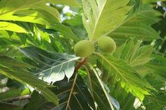 Πράσινα φρούτα Στοκ εικόνες με δικαίωμα ελεύθερης χρήσης