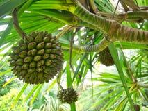 Πράσινα φρούτα Pandan με το υπόβαθρο φοινικών στοκ εικόνα
