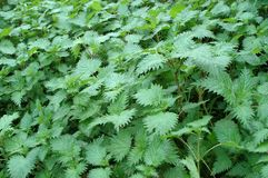 Πράσινα φυσικά όμορφα nettles τσιμπήματος Στοκ εικόνες με δικαίωμα ελεύθερης χρήσης