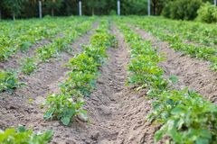 Πράσινα φυτά με τα φύλλα των πατατών που αυξάνονται στον τομέα πατατών Στοκ Εικόνες