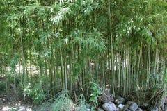 πράσινα φυτά μπαμπού Στοκ Φωτογραφία