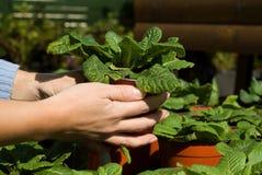 πράσινα φυτά σε δοχείο Στοκ Εικόνα