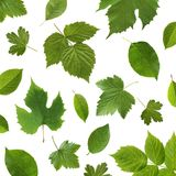 Πράσινα φυτά φρούτων κήπων φύλλων σε ένα άσπρο υπόβαθρο Στοκ Εικόνα