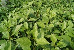 πράσινα φυτά φύλλων Στοκ Εικόνα