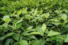 πράσινα φυτά φύλλων Στοκ Εικόνες