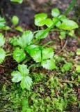 Πράσινα φύλλα άγριων φραουλών στο υγρό mossy υπόβαθρο στοκ εικόνες με δικαίωμα ελεύθερης χρήσης