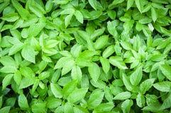 πράσινα φύλλα ανασκόπησης ακακιών φυσικό σχέδιο, σύντομο χρονογράφημα Στοκ φωτογραφία με δικαίωμα ελεύθερης χρήσης