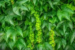 πράσινα φύλλα ανασκόπησης ακακιών στοκ εικόνα με δικαίωμα ελεύθερης χρήσης