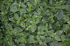 πράσινα φύλλα ανασκόπησης Στοκ Φωτογραφία