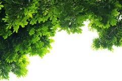 πράσινα φύλλα ανασκόπησης Στοκ Εικόνες