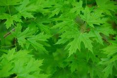 πράσινα φύλλα ανασκόπησης Στοκ φωτογραφία με δικαίωμα ελεύθερης χρήσης