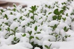 Πράσινα φύλλα από το χιόνι Στοκ Εικόνες