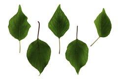 Πράσινα φύλλα βερίκοκων που απομονώνονται στο άσπρο υπόβαθρο, σύνολο στοκ φωτογραφία