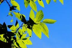 Πράσινα φύλλα ενάντια στο φωτεινό μπλε ουρανό στοκ φωτογραφίες
