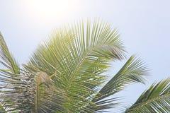 Πράσινα φύλλα ενός φοίνικα, του μπλε ουρανού και του ήλιου Εξωτικός τροπικός κύκλος στοκ φωτογραφία με δικαίωμα ελεύθερης χρήσης