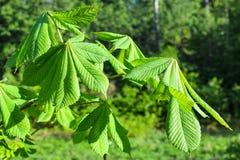 Πράσινα φύλλα κάστανων στο δασικό υπόβαθρο στοκ εικόνα με δικαίωμα ελεύθερης χρήσης