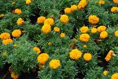 Πράσινα φύλλα και πορτοκαλιά λουλούδια του erecta Tagetes στοκ εικόνα