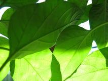 Πράσινα φύλλα και φως του ήλιου Στοκ Εικόνα