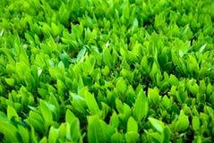 πράσινα φύλλα Κινηματογράφηση σε πρώτο πλάνο του φρέσκου buxus Κλείστε επάνω τα πράσινα φύλλα θάμνων buxus Στοκ Εικόνες