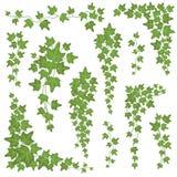 Πράσινα φύλλα κισσών στην ένωση των κλάδων Τοίχος που αναρριχείται στο διανυσματικό σύνολο εγκαταστάσεων διακοσμήσεων που απομονώ ελεύθερη απεικόνιση δικαιώματος