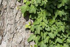 Πράσινα φύλλα κισσών Στοκ φωτογραφίες με δικαίωμα ελεύθερης χρήσης