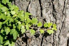 Πράσινα φύλλα κισσών Στοκ Εικόνα