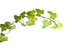 πράσινα φύλλα κισσών Στοκ Εικόνες