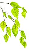 πράσινα φύλλα κλάδων στοκ φωτογραφία με δικαίωμα ελεύθερης χρήσης