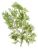 πράσινα φύλλα κωνοφόρων Στοκ φωτογραφία με δικαίωμα ελεύθερης χρήσης