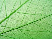 πράσινα φύλλα λεπτομέρει&alph Στοκ Εικόνες