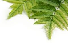 πράσινα φύλλα λεπτομερε&io Στοκ φωτογραφία με δικαίωμα ελεύθερης χρήσης