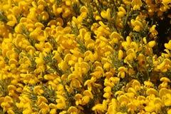 πράσινα φύλλα λουλουδιών κίτρινα Ισπανική χλωρίδα Στοκ Εικόνες