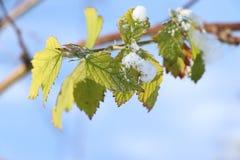 Πράσινα φύλλα με έναν οφθαλμό με το χιόνι στοκ εικόνες