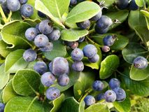 Πράσινα φύλλα με τα ιώδη μπλε μούρα στοκ φωτογραφίες