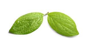 Πράσινα φύλλα με τη δροσιά στοκ εικόνα με δικαίωμα ελεύθερης χρήσης