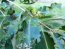 Πράσινα φύλλα με τις τρύπες, που τρώονται από τα παράσιτα και τα σκουλήκια στοκ φωτογραφία με δικαίωμα ελεύθερης χρήσης