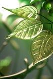 πράσινα φύλλα μούρων Στοκ εικόνα με δικαίωμα ελεύθερης χρήσης