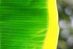 πράσινα φύλλα μπανανών στοκ φωτογραφία