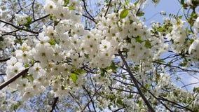 Πράσινα φύλλα ξύλων καρυδιάς στη δροσιά απόθεμα βίντεο