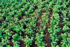 Πράσινα φύλλα πολλών δενδρυλλίων στο δοχείο λουλουδιών Στοκ Φωτογραφία