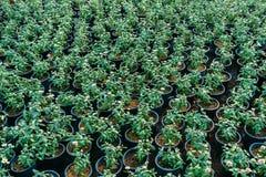 Πράσινα φύλλα πολλών δενδρυλλίων στο δοχείο λουλουδιών Στοκ Εικόνα