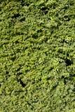 πράσινα φύλλα που γίνονται τον τοίχο Στοκ Φωτογραφίες