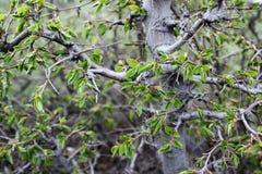 Πράσινα φύλλα σε έναν κλάδο, θάμνοι, άνοιξη, στοκ εικόνες