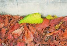 Πράσινα φύλλα σε έναν σωρό των κόκκινων φύλλων δίπλα στο τσιμέντο wal στοκ φωτογραφία με δικαίωμα ελεύθερης χρήσης